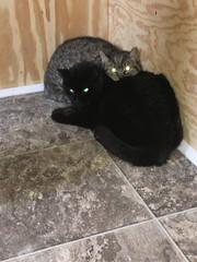 Santana and her new friend, Petra (Hazboy) Tags: new home cat kat nj kitty gato jersey stray santana katze gatto kot hazboy hazboy1