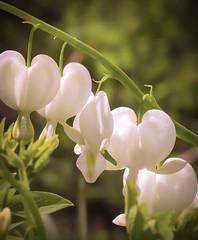 Bleeding Hearts (mahar15) Tags: flowers white plant flower nature outdoors alba bleedingheart blooms dicentra dicentraspectabilisalba whitebleedingheart