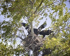 Bald Eagles of Gainey Ranch 5 (Gritsgal Photo's) Tags: bald eagles baldeagles