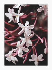 Pretty in Pink (bnishimoto) Tags: flower color fuji bayarea fujifilm santanarow 60mm floraandfauna photoessay xt1 ontherow