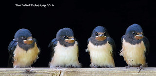 Patience boys !!! Young Swallows