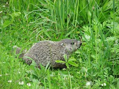HEY THERE FELLA (richie 59) Tags: city railroad trees urban usa newyork animal america outside us spring weeds unitedstates midtown kingston woodchuck newyorkstate ud nystate hudsonvalley weekday kingstonny 2016 ulstercounty smallcity midhudsonvalley americancity midhudson ulstercountyny uscity catskillmountainrailroad tuseday 2010s ulsterdelawarerailroad ulsterdelaware richie59 midtownkingstonny midtownkingston may2016 newyorkcenteral may172016 newyorkcenteralrailroad