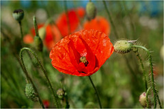 summerfeelings.......... (atsjebosma) Tags: red summer flower nature june juni wind ngc thenetherlands natuur windy zomer poppy buds rood friesland harlingen papaver knoppen 2016 atsjebosma coth5