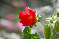 mountain rose mallow (wmpe2000) Tags: flowers red flower yellow gardens mallow malvaceae daytrip 2016 tohonochulpark mallowfamily hibiscuscardiophyllus ordermalvales mountainrosemallow daytriptohonochulpark