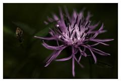 Fancy (e27182818284) Tags: flower dark depthoffield blume schwarzwald blackforest smcpk35mmf20