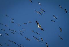 Where's Waldo? (skram1v) Tags: flight pelican manitoba migration soaring waldo levels lockport may1416