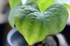 (noidcanuse2011) Tags: plant green  dioscoreaelephantipes  600mmf28