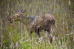 Young moose bull in the marsh - Algonquin Park, Ontario (Phil Marion) Tags: travel wedding boy vacation people woman hot sexy ass beach girl beautiful beauty sex canon naked nude nipples slim boobs nu candid dick young hijab nackt explore teen tranny xxx chubby plump  burqa nudo desnudo dink  nubile telanjang schlampe    5photosaday explored  thn nijab    kha    malibog    philmarion         saloupe