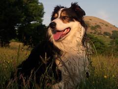 My Conscience. (Mike & Indy) Tags: portrait dog dogs farm laddie farmland explore bordercollie northwales llanfairfechan