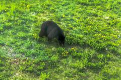 Barely Bearable (WarpFactorEnterprises) Tags: bear mountain black canon whistler gondola sighting t4i spring2016