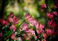 Summer Breeze (Missy Jussy) Tags: pink flowers light summer plants sunlight flower gardens petals shadows wind bokeh breeze mygarden rochdale perennials britishsummertime canonpowershotsx60