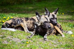 She's mine (marionrosengarten) Tags: wilddog african berlinzoo zoo animals wildhund afrikanischer tiere