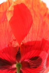 Klatschmohn 1 (gripspix (OFF)) Tags: 20160605 nature natur plant pflanze blte blossom poppy mohn klatschmohn papaverrhoeas petal bltenblatt texture textur