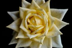Starburst (@richlewis) Tags: flower macro rose closeup kent canterbury extensiontube fujifilmxt1 fujifilmmcex16 fujinonxf90mmf2rlmwr