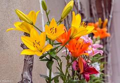 Lys multicolore... (Crilion43) Tags: arbres france vreaux divers lys jardin centre canon paysage fleurs cher rouge brouillard ciel herbe jaune nature nuages orange rflex sapin thuya