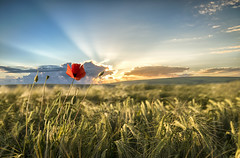 Single poppy in a corn field (Cliff-Spittle 1million views Thank you) Tags: poppy poppies poppyfield nikond810 nikonfullframe sigma24105mmart singlepoppyincornfield