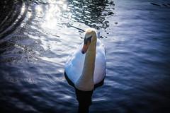 Sunset Glide (John Garfield-Roberts) Tags: swan bird lake greenbank park liverpool sunset grace merseyside