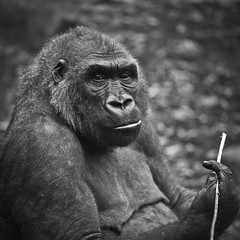 Ohne Titel (Robert Mehlan) Tags: bw white black robert animal canon gorilla 5d sw schwarz tier mkii affe traurig weis ef70200mm menschenaffe blickindiekamera mehlan