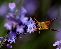 Lavender and Skipper (saxonfenken) Tags: flower butterfly insect dof lavender superhero largeskipper gamewinner 7033 a3b friendlychallenges yourockwinner yourockunanimous herowinner pregamewinner 3rdplaceagcgiconchallenge 7033but