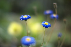 blue flower (myu-myu) Tags: blue flower nature japan felicia ngc panasonic mygarden   nokton25mmf095 dmcg3