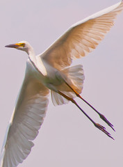 egret in flight (MohdShareef) Tags: lake bird fowl egret colombo d90 flyingegret
