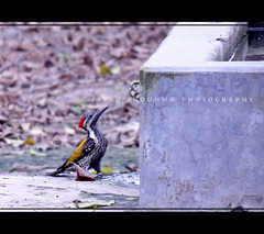 2 (THIRSTY) (Shoummo ()) Tags: birds woodpecker dhaka bangladesh blackrumpedflameback lessergoldenbackedwoodpecker  bangladeshibirds saeedshoummo  shoummo
