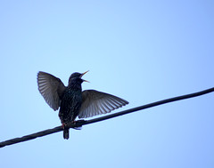 Starling courtship dance (Chrine K) Tags: dance wings wire starling ritual courting courtship spottedbird