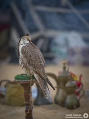 Falcon (RASHID ALKUBAISI) Tags: nikon nikkor d3 2012 qatar rashid      d3x alkubaisi d3s   nikond3s mygearandme  wwwrashidalkubaisicom