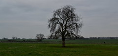 Tree in a Field (Jeremy Saker) Tags: oneaday photoaday pictureaday project365 project36534 northantscountryside march2012treesbyjohnmuir northantstree project365160312
