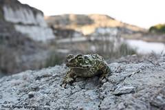Epidalea calamita en su hábitat (David Herrero Glez.) Tags: frog toad sapo amphibians corredor bufo calamita anfibios anuros epidalea