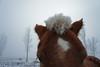 Freddie Mac's Frosted Hair (Roofer 1) Tags: horse frost belgian soe mane workhorse
