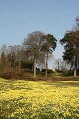 Daffodil carpet (Helena Pugsley) Tags: park flowers blue yellow spring daffodil windsorgreatpark virginiawater