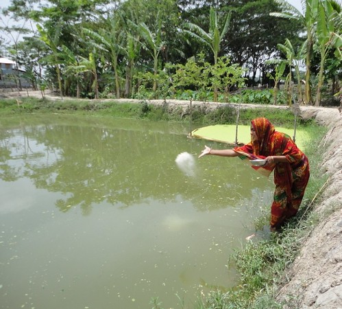 Feeding fish in Bangladesh. Photo by WorldFish, 2008.