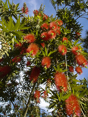 Bottle Brush (be my butterfly) Tags: flower nature beautiful garden blog florida blossom petal bloom pollen wildflower callistemon suzanneclute