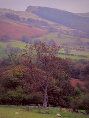 Focal Haze (Dazzygidds) Tags: tree sheep character derbyshire sycamore patchwork nationaltrust darkpeak peakdistrictnationalpark colouful castleton winnatspass hopevalley soften peverilcastle patchworkfields