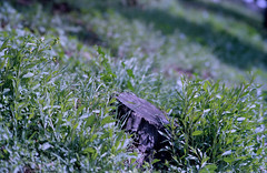 Log (BG Sixtyniner) Tags: nature grass spring log dof kodak bokeh super iso linhof 6x9 100 iv 125 schneiderkreuznach ektar 180mm measured f55 technika telearton l308 seconic