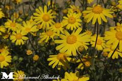 nuwair. (desert flower) (mohammed alhashash) Tags: shadow flower cars canon sticks candle colours desert coins nuts wires kuwait kd q8 nuwair kwi kwt mesbah 60d kwd alhashash mhmdalhashash