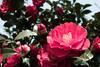 Camellia(`・ω・´)キリッ! (punipuki) Tags: street city flower nature japan spring sigma kanagawa 神奈川 春 floralappreciation dp2s