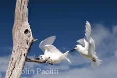 fairy terns1 - get off my perch!! (sterna nereis) (Colin Pacitti) Tags: white bird birds photo ngc flight wing npc mauritius terns supershot thegalaxy specanimal avianexcellence sternanereis fairyterns fantasticwildlife coth5 birdperfect amazingwildlifephotography allofnatureswildlifelevel1 allofnatureswildlifelevel2 allofnatureswildlifelevel3 allofnatureswildlifelevel4 allofnatureswildlifelevel5 allofnatureswildlifelevel8 allofnatureswildlifelevel6 allofnatureswildlifelevel7 sunrays5