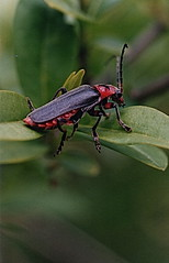 le Moine / Cantharis rustica (luka116) Tags: insectos animal animals insect schweiz switzerland suisse swiss svizzera animaux branson insekt wallis insetto insecte insectes valais insecto faune insecta rustica cantharis follateres florahelvetica floredesuisse