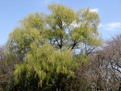 #1615 weeping willow (シダレヤナギ) (Nemo's great uncle) Tags: tokyo flora willow 東京 weepingwillow weeping salix kinutapark 砧公園 世田谷区 setagayaku babylonica salixbabylonica シダレヤナギ 枝垂柳