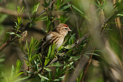 Lesser Redpoll. (stonefaction) Tags: park nature birds scotland riverside dundee wildlife lesser redpoll faved
