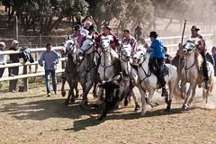 Vendargues, 10me rencontre des Gardians (kat's here) Tags: horse caballos bull toros taureau cadoule biou gardians bandide lacadoule vendcadou
