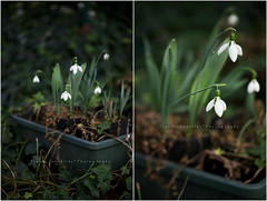 In the middle of winter snow drops bloom like stars (*Les Hirondelles* Photography) Tags: wood old winter italy white macro verde green grass leaves foglie canon vintage garden outside countryside leaf petals italian soft italia dof heart bell bokeh gardening country softness ivy naturallight poetic hobby campagna erba pot bloom vase hanging flowering foglia delicate pure campanula fragile petali cuore vaso pureness snowdrop climbers giardino italiano blooming underwood whiteflowers latewinter winterflower galanthusnivalis undergrowth 100mm28 candour fragility fioribianchi bucaneve pendenti sooc fiorire sbocciare firstblossom candore macrodetails fioredinverno leshirondellesphotography