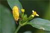 IMGP10034 (Jack O'Donate) Tags: curculionidae tamronspaf90mmf28dimacro coléoptères rhynchites charençon routedelatrace pentaxk5 ileomus