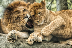 When Dad Says No.He Means NO! (nailbender) Tags: nature child lion anger parent frustration playful lioncub temper birminghamzoo scolding malelion nailbender