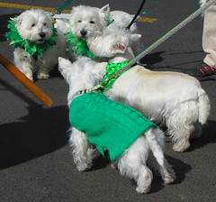 Westies Love to Wear Green ! (Colorado Sands) Tags: irish usa dog pet pets green dogs fashion animal animals america festive march us sweater clothing colorado unitedstates westie meeting denver parade perro event westhighlandwhiteterrier perros bling  hunde apparel westhighlandterrier stpats chiens  terriers westies fashionable anjing stpatricksparade stpaddys 2011 greenclothes sandraleidholdt whiteterriers leidholdt irishparades americanparades whitewesthighlandterriers