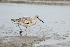 Willet (Rita Wiskowski) Tags: bird wisconsin shore milwaukee willet mckinleybeach