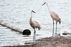 The Sandhill Cranes Are Back (Also http://www.ipernity.com/home/304321) Tags: nature birds wisconsin pond cranes wi sandhillcranes middleton strickerspond