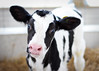 {Brevity} (Farmgirl18) Tags: baby cute animal nose cow farm calf bovine holstein heifer